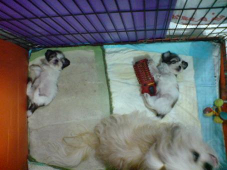 3rd batch of puppies! Angel did a great job as a mommy :)