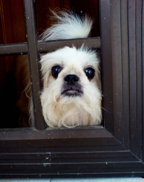 This is her looking at me through the gate as I was leaving for school.. It certainly feels different now without her.
