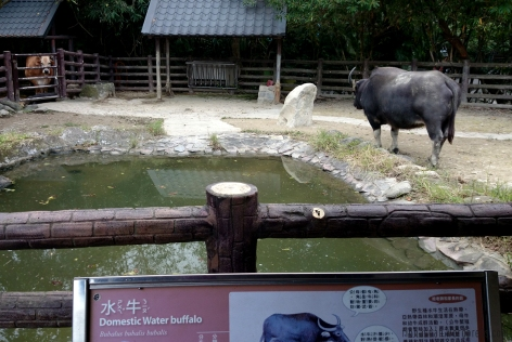 Domestic Water Buffalo