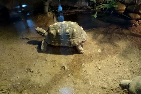 Yellow headed tortoise at the Amphibian and Reptile House